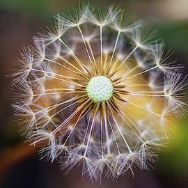 Dandelion  by Stephen Jenkins