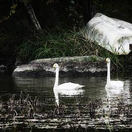 Jouko Lehto - Dark waters by the old boat. Whooper Swan