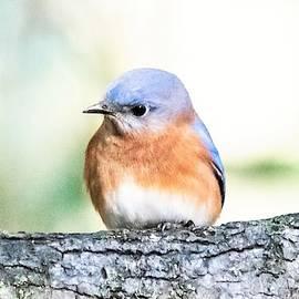 Mary Ann Artz - Darling Eastern Bluebird