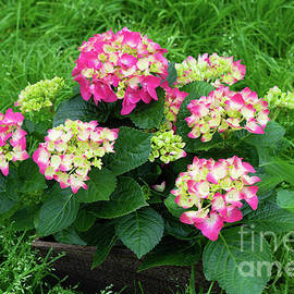 Decorative Floral Pink Hydrangeas C031619 by Mas Art Studio