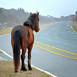 Delegats's Pride Looking For Visitors To Assateague Island by Assateague Pony Photography