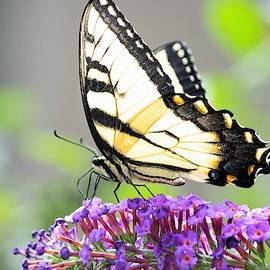 Delicate Beauty - Eastern Tiger Swallowtail by Mary Ann Artz