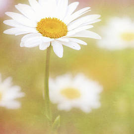 Delightful Daisy Portrait by Anita Pollak