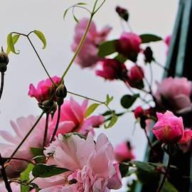 Delightful Roses by Loretta S