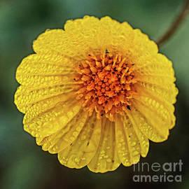 Desert Sunflower Macro by Robert Bales
