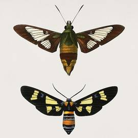 Celestial Images - Different types of moths illustrated by Charles Dessalines D