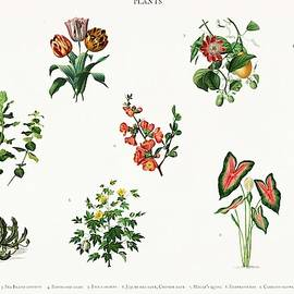 Celestial Images - Different types of plants illustrated by Charles Dessalines D