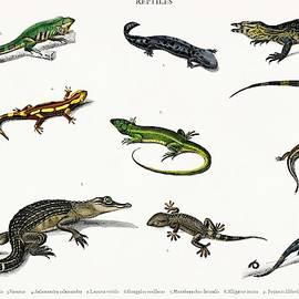 Celestial Images - Different types of reptiles illustrated by Charles Dessalines D