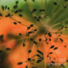 Dill Abstract by Flo Photography