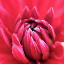 Diving Into A Gorgeous Red Dahlia by Johanna Hurmerinta