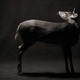 Doe by Harry Giglio