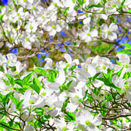 Dogwood Tree In Bloom by The American Shutterbug Society