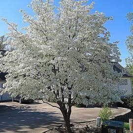 Dogwood Tree in Full Bloom by Bobbie Moller