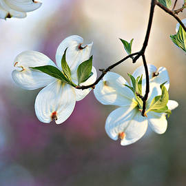 Dogwood Blossoms by Marilyn DeBlock