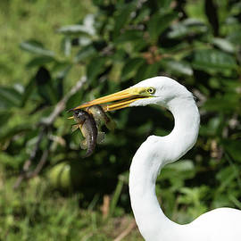 Double Snack Day Great White Egret by Darrell Gregg