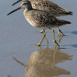 Dowitchers Reflected by Bruce Frye