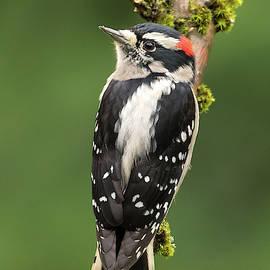 Downy Woodpecker 2 by Angie Vogel