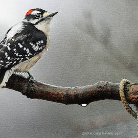 Downy Woodpecker In The Rain by R christopher Vest