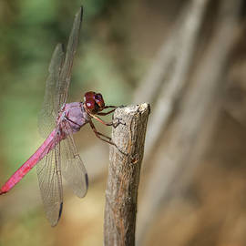 Dragonfly 2958-091718-1cr by Tam Ryan