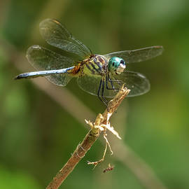 Dragonfly 4 by Morey Gers