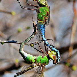 Dragonfly Love by Debbie Stahre