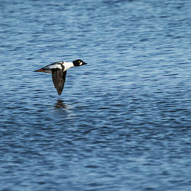 Drake Goldeneye In Flight 2013-1 by Thomas Young