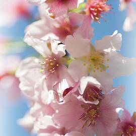 Dreamy Spring Blossoms by Lynn Bauer