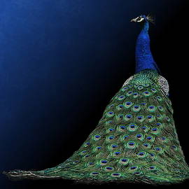 Dressed To Party - Male Peacock by Debi Dalio
