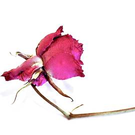 Dried Rose by Alida M Haslett