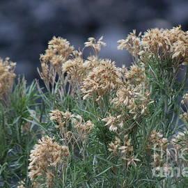 Dried Wildflowers At Bridal Falls Utah by Colleen Cornelius