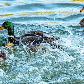 Marcy Wielfaert - Duck Dust Up