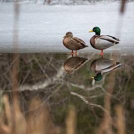 Kathryn Bedard - Duck Reflections in Winter