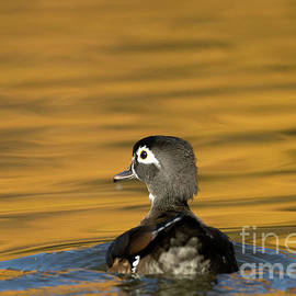 Beve Brown-Clark Photography - Duck Series - On Golden Pond - Wood Duck