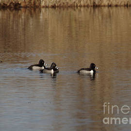 Duckies in a pond by Jeff Swan