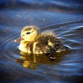 Duckling reflection by Dana Hardy