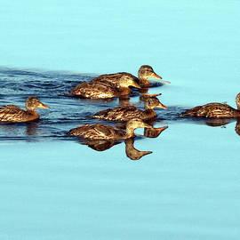 Michael Riley - Ducklings Swimming