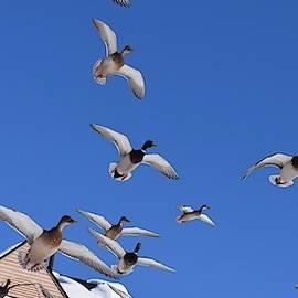 Ducks on the Go by Dana Hardy