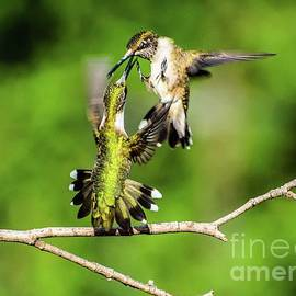 Dueling Ruby-throated Hummingbird Series #4 by Cindy Treger