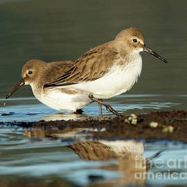 Dunlins At Waters Edge by Sue Harper