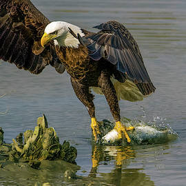 American Bald Eagle Grabss Fish Out of Marsh by TJ Baccari