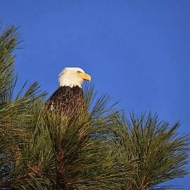 Eagle on Ponderosa Perch by Dana Hardy