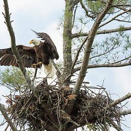 Eagle Landing by Doug McPherson