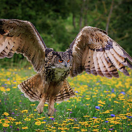 Eagle owl 1 by Chris Smith