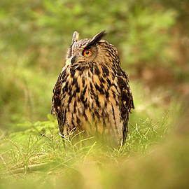 David Hare - Eagle Owl