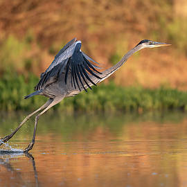 Early Morning Heron by Paul Martin