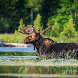 Early Morning Stroll - Bull Moose - Allagash Maine by Jan Mulherin