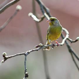 Early spring. European greenfinch by Jouko Lehto
