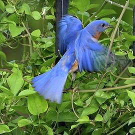 Eastern Bluebird Flashing His Blue by Cindy Treger