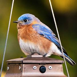 Mary Ann Artz - Eastern Bluebird in Autumn