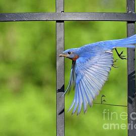 Eastern Bluebird On A Mission by Cindy Treger